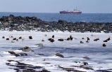 King Eiders, oiled with freighter