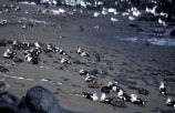 King Eiders oiled on St Paul Island