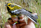 Townsend's Warbler in Hand