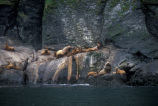 Steller Sea Lion Haulout in the Aleutian Islands
