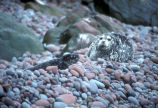 Harbor seal and pup on Buldir Island