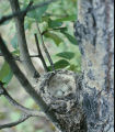 Yellow warbler nest with eggs