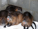 WOE143   Captive Nutria at Blackwater National Wildlife Refuge