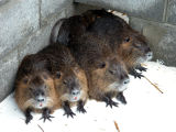 WOE144  Captive Nutria at Blackwater National Wildlife Refuge