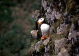 Horned Puffin, Hall Island