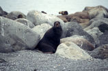 Northern fur seal Bogoslof Island