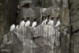 Common Murres, Castle Rock, Shumagin Islands