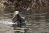 Double-crested Cormorant, Castle Rock, Shumagin Islands