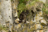 Bald Eagle, juvenile, Castle Rock, Shumagin Islands