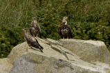 Bald Eagles,juveniles,  Castle Rock, Shumagin Islands