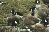 Canada geese with neck bands