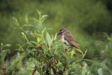 Bluethroat Male