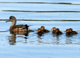 American Wigeon Brood