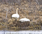 Trumpeter Swan Pair at Nest