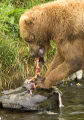 Brown bear feeding on salmon