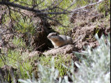 Southern Idaho Ground Squirrel