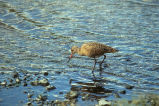 Marbled Godwit at Shoreline