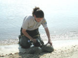 Tagging a horseshoe crab
