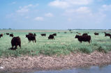 Grazing (Other uses for Wetlands)