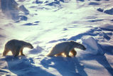 Polar Bears In Cape Lisburne