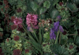 Hall Island wildflowers, Monkshood, Rose sedum