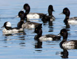 Bufflehead and greater scaup