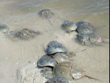 WOE245 Horseshoe Crabs in water