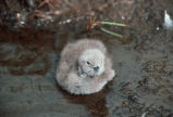 Pacific Loon Chick