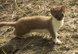 Weasel, Short-tailed