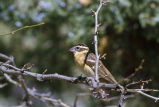 Black-headed grosbeak perched on tree limb