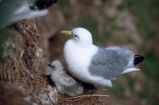 Black-legged kittiwake and chick on nest