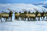 Elk, National Elk Refuge
