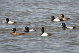 Greater Scaup Group of Males and Females