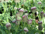 Showy Indian Clover