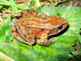WOE233 Northern Red legged frog