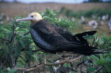 Lesser frigatebird perching on branch