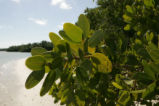 Close view of red mangrove leaves