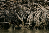 Close view of red mangrove roots