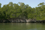 Red mangrove trees at water edge