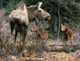 Moose cow with two calves