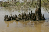Bald cypress trunk and knees
