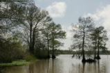 Bald cypress and open water
