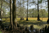 Bald cypress trees and boardwalk