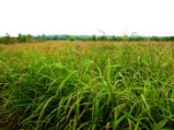 Johnson grass covering floodplain