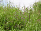 Purple loosestrife and johnson grass