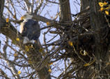 Bald eagle perched near its nest in tree