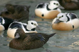 Steller's Eider Males and Females