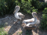 Young brown pelicans