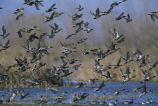 Mixed Flock of Ducks Taking Off from a Wetland
