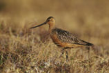 Bar-Tailed Godwit on Tundra